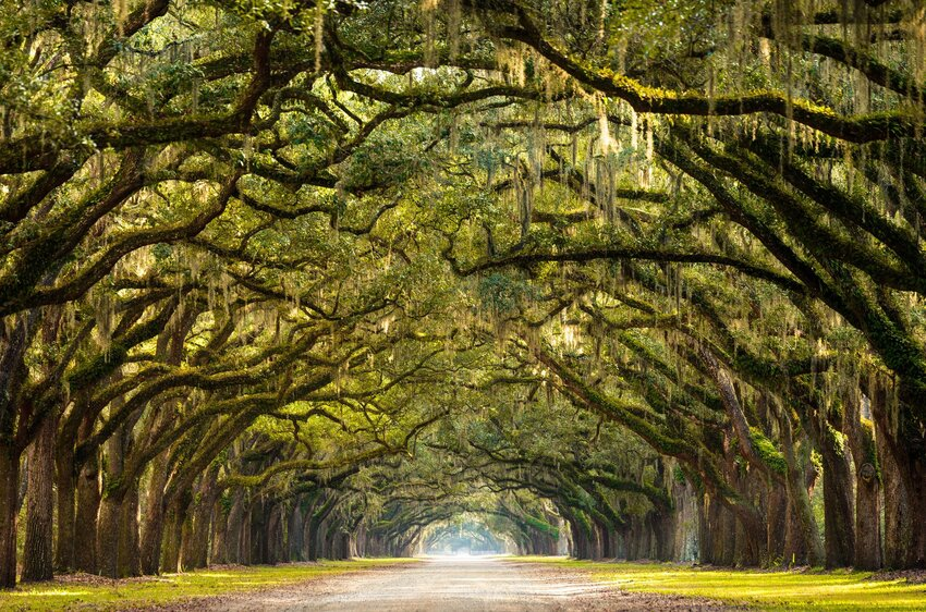 Drooping Spanish moss trees form natural tunnel above Wormsloe State Historic Site