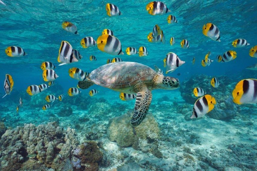 Turtle swimming in lagoon of Bora Bora, French Polynesia.
