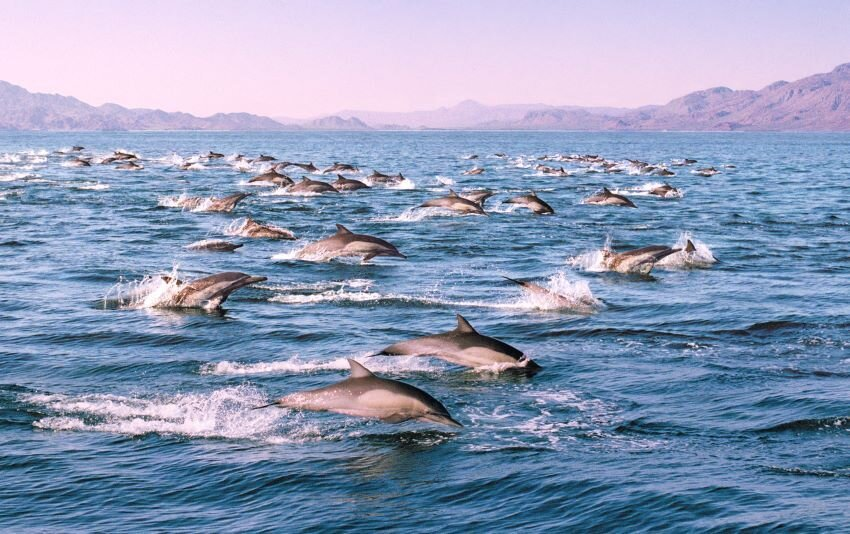 A dolphin pod early morning in the Sea of Cortez.