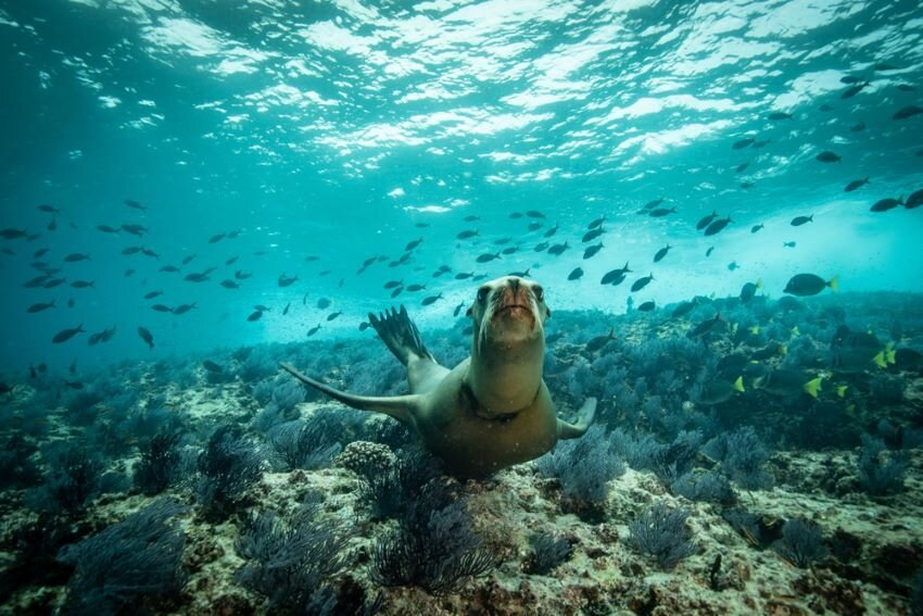 Sea lions playing in the Sea of Cortez.