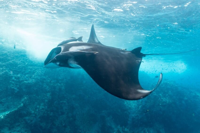 Giant manta ray in the Sea of Cortez.