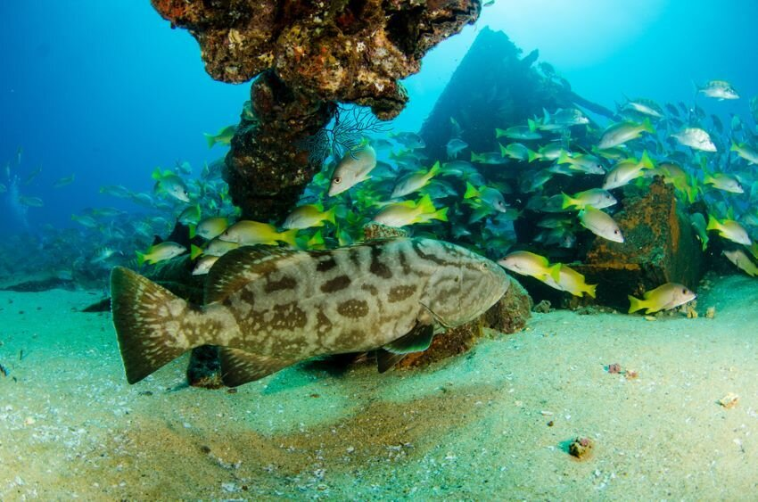 Big Gulf grouper, resting in a shipwreck in the reefs of Sea of Cortez.