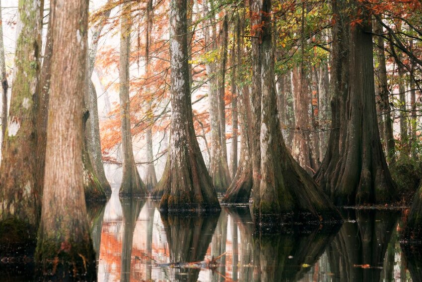 Bald cypress trees in autumn at Chicot State Park in Louisiana.