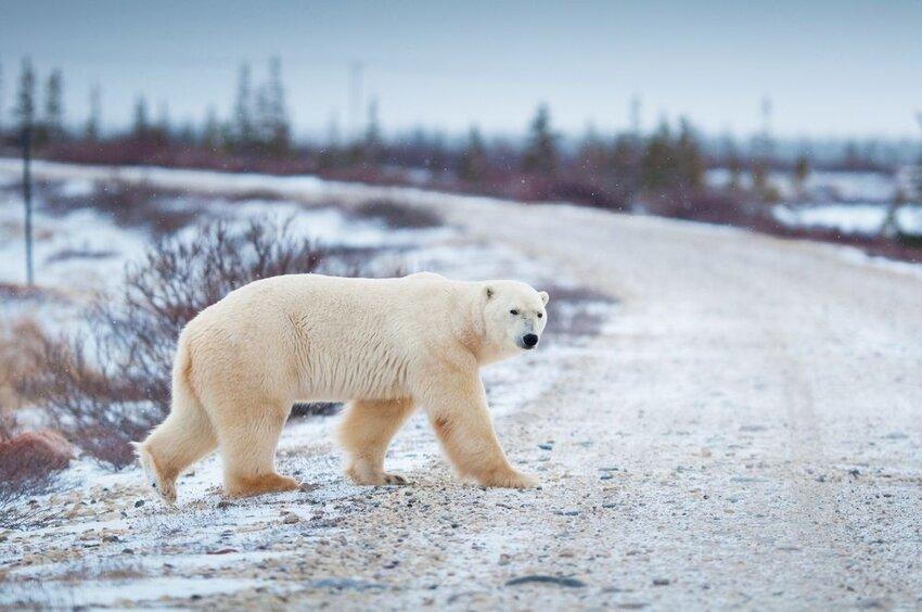 Polar Bear from Canada walking across the road.