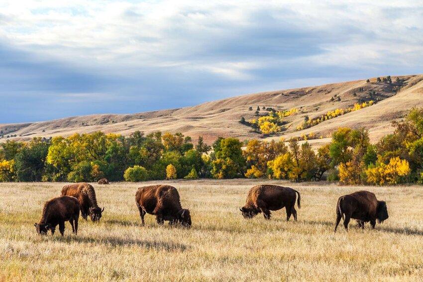 bison herd grazing in Custer State Park, South Dakota.