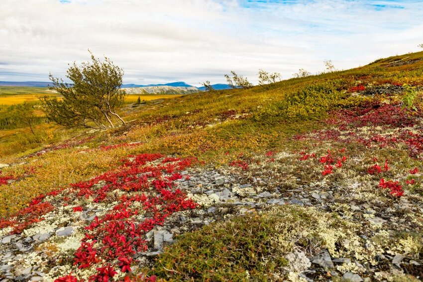 Autumn fall colors in arctic tundra with bright red Alpine Bearberry.