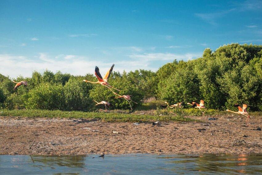 Wild pink flamingos in Celestun Mexico